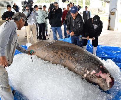 冲绳海边发现儒艮尸体 日本前首相怒称:被填海造陆害死的