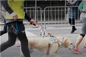 导盲犬引跑助跑者2小时20分完成半马