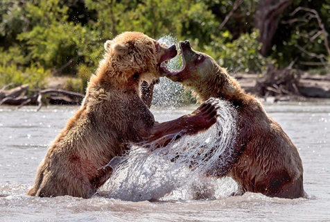 俄两母熊为抢鱼大打出手 展锁喉功堪称史诗级