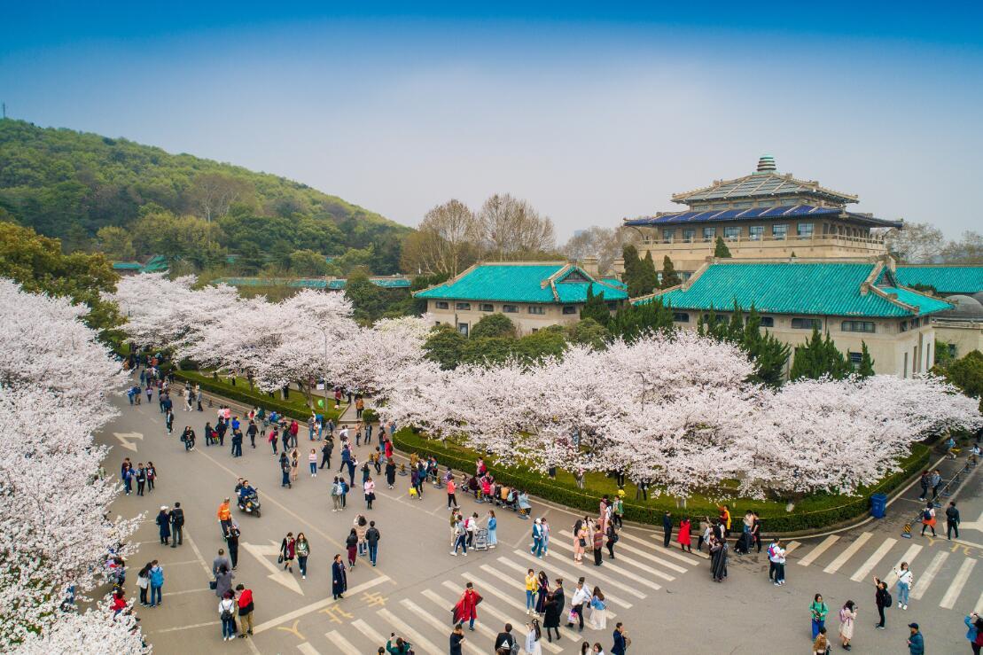 武汉大学上千株樱花盛开 吸引游人赏景成每年惯例