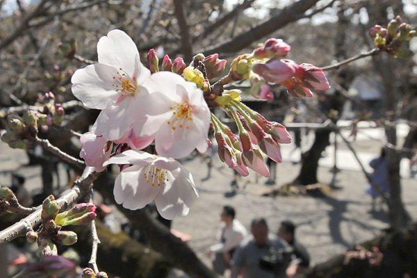 日本东京都中心樱花开放 比常年早5天