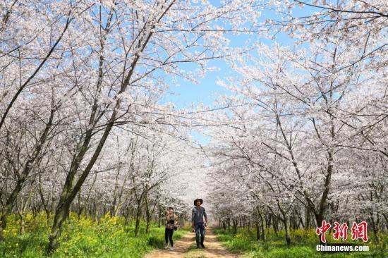 日媒:日本东京都中心樱花开放 比常年早5天