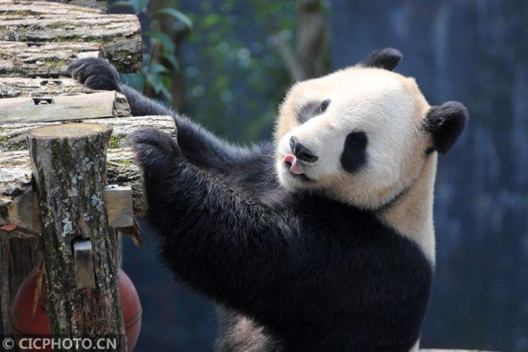安徽黄山:春日里的大熊猫