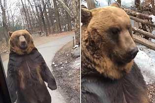 韩国一公园迫使棕熊直立行走被疑虐待动物