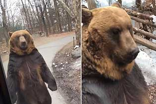 韩国一公园迫使棕熊挺立行走被疑荼毒植物