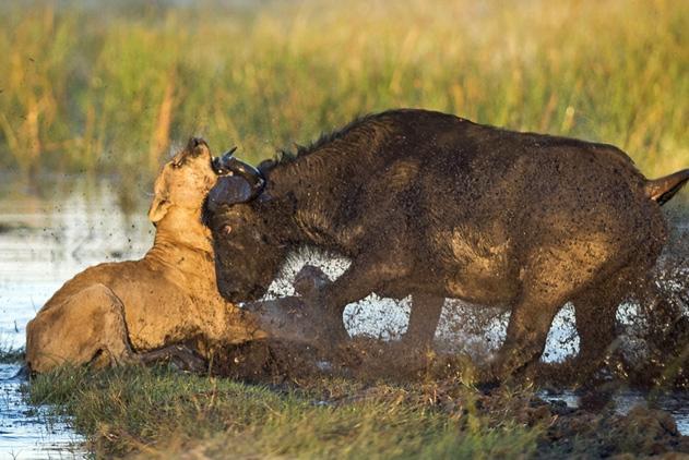 博茨瓦纳水牛幼崽遭狮子捕食 生死时刻获父母解救