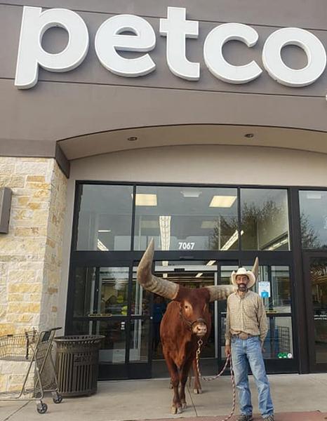 近一吨重非洲长角牛惊现美国一宠物店备受关爱