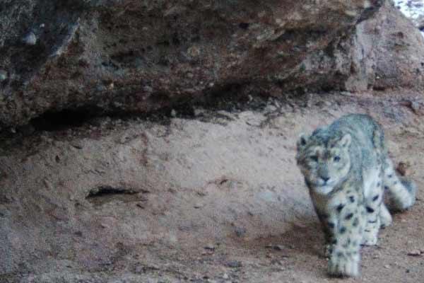 三江源国家公园黄河源园区首次拍摄到雪豹活动影像