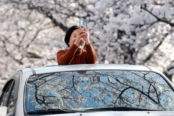 韩国釜山樱花提前绽放 游客徜徉浪漫樱花街