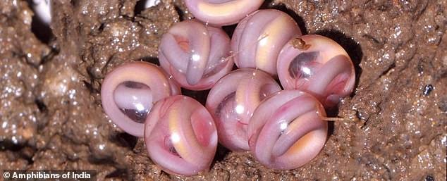科学家发现粉红色透明弹珠物体 或为蝾螈表亲的卵