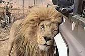 这就是爱!南非一狮子对路过汽车大胆表达爱意