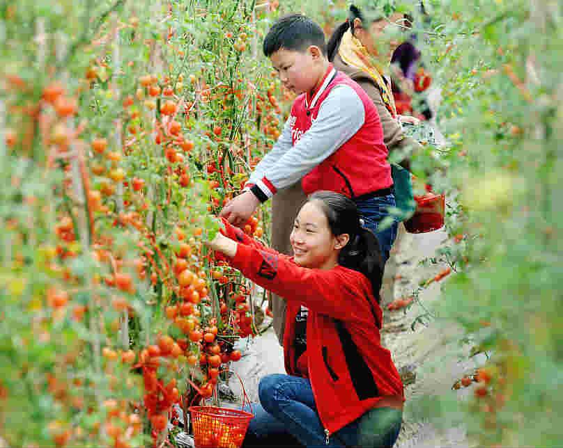 江西婺源:游客采摘圣女果 农家收入多
