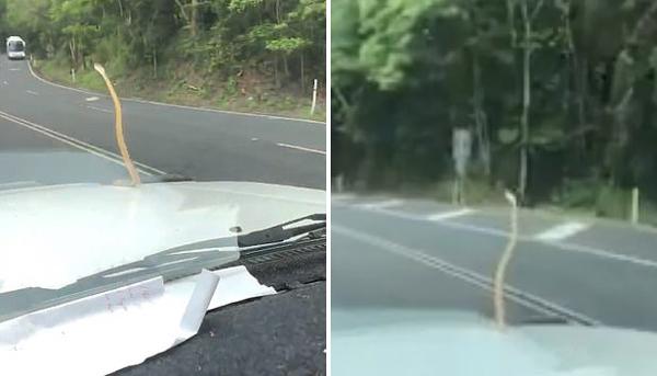 澳大利亚一毒蛇惊现车窗搭便车引起众人恐慌