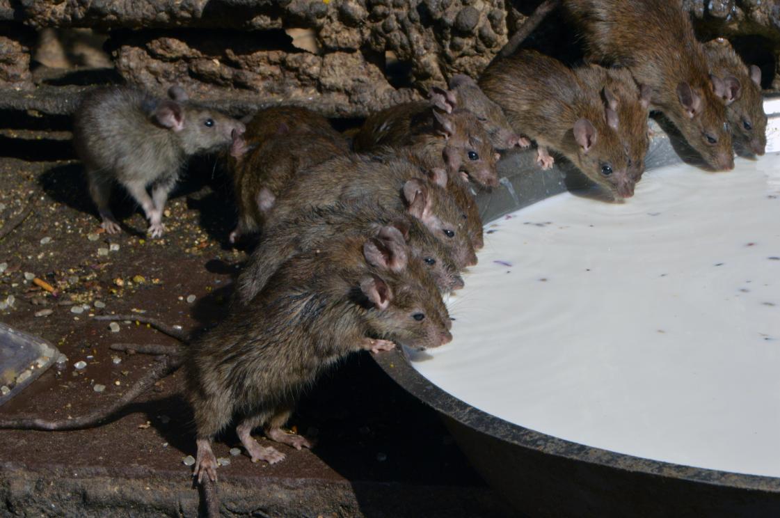 """印度有座奇葩""""鼠庙"""" 上万只老鼠在这里接受供奉朝拜"""