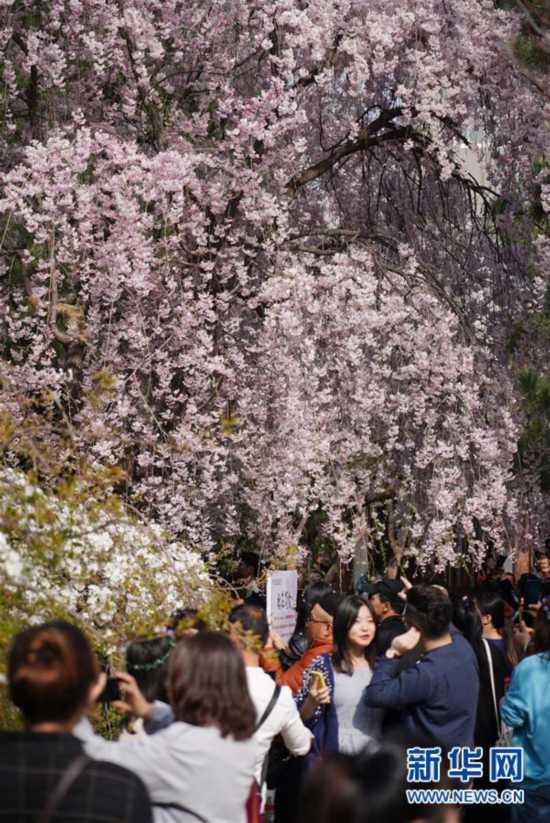 西安青龙寺 樱花引客来