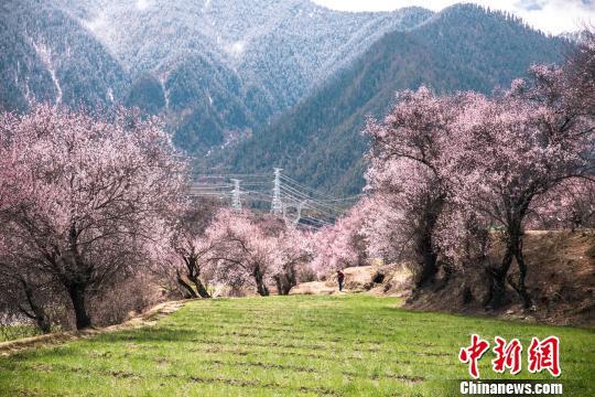 高原桃花盛开 西藏林芝将迎旅游小高峰
