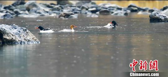 吉林长白山区域北归中华秋沙鸭数量明显增多