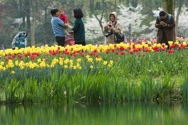 杭州公园郁金香和樱花同期绽放 游客络绎不绝