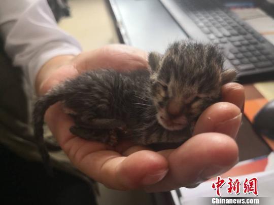工人挖掘机下救下豹猫幼崽 民警用婴幼儿奶粉喂养