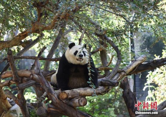 """旅美大熊猫母子""""白云""""和""""小礼物""""将返回中国"""