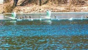 延庆妫河:8只天鹅落户世园会园区