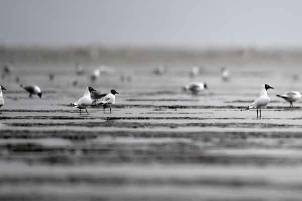 大批遗鸥飞临天津滨海滩涂