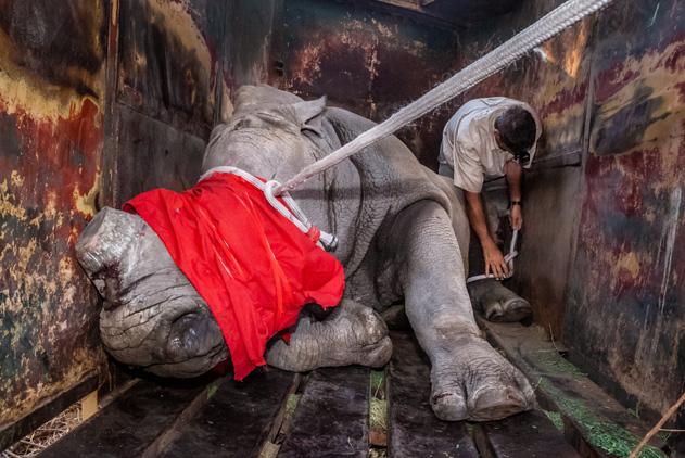 心碎!非洲犀牛遭偷猎惨被割角 网传其可治癌症