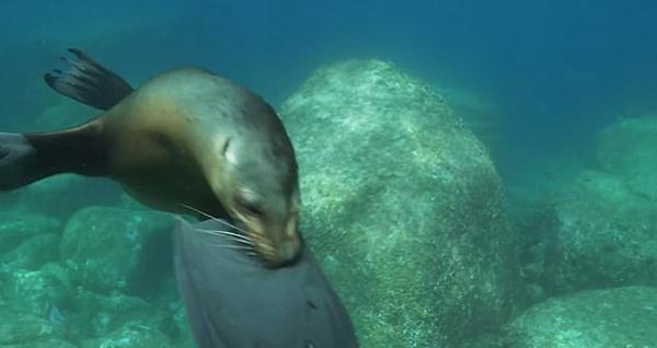 """好奇海狮啃咬潜水员脚蹼上演水下""""拉锯战"""""""