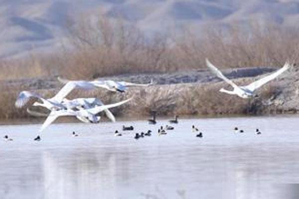 """甘肃戈壁湿地""""变身""""候鸟乐园"""