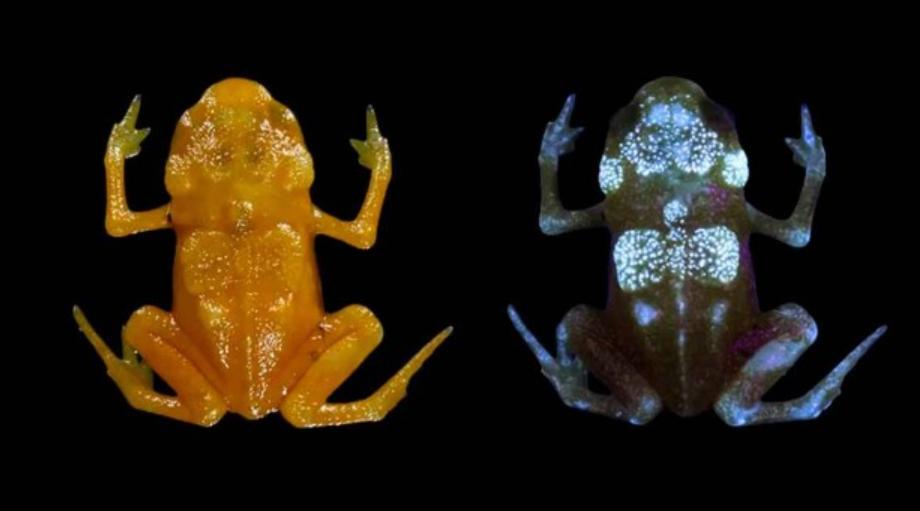科学家:南瓜蟾蜍骨骼在紫外线照射下会发出荧光