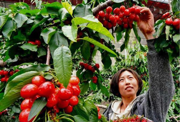 樱桃种植促增收