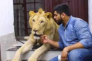 与狮同行!巴基斯坦兄弟饲养雄狮带其驾》车出游