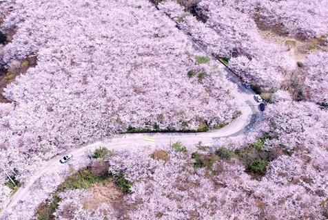 韩国釜山黄岭山樱花盛放 粉色花海美不胜收