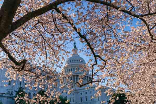 美国华盛顿樱花怒放 繁花掩映国会大厦美不胜收