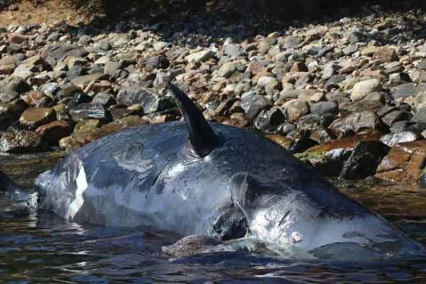 意大利海滩惊现死亡抹香鲸,腹中竟有22公斤塑料垃圾