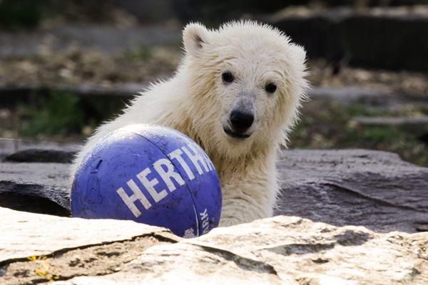 柏林动物园小北极熊踢足球 秀脚法萌萌哒