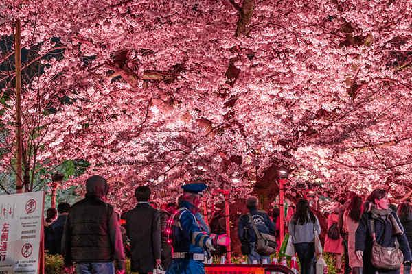 日本东京千鸟渊迎来平成年最后樱花盛典