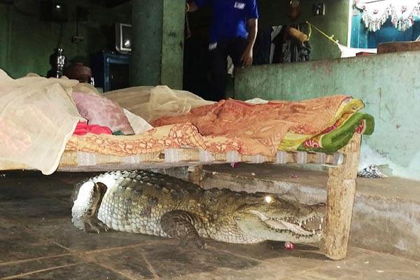 噩梦成真!印度农夫半夜惊醒 发现床下趴着大鳄鱼