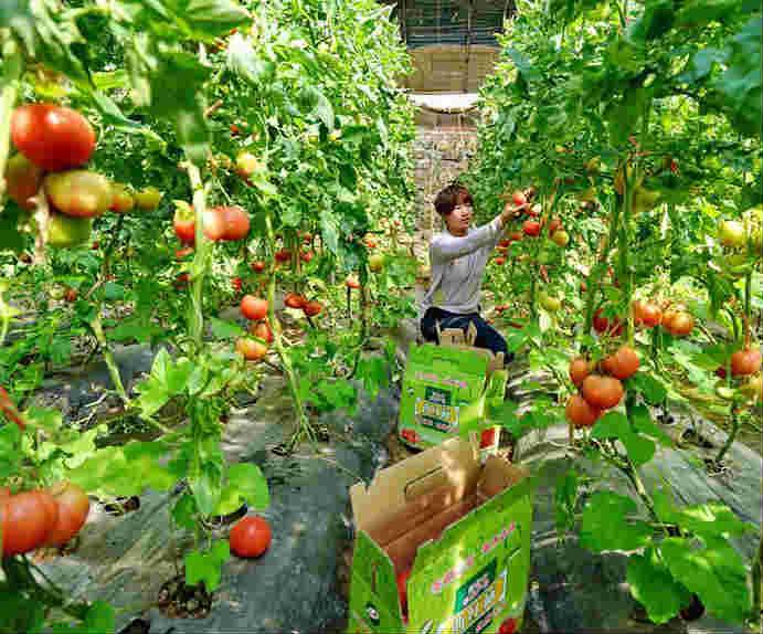 河北秦皇岛:无公害蔬菜产业化发展增产增收