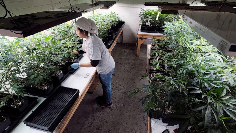 洛杉矶利用科技手段消除与大麻有关犯罪判决记录