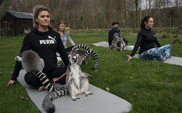 动物瑜伽来袭!英一酒店首次开设狐猴瑜伽课程