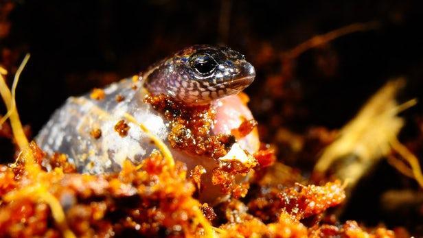 科学家首次目击到同一胎蜥蜴既可卵生也可胎生