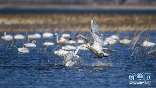 大天鹅栖息白石水库湿地自然保护区