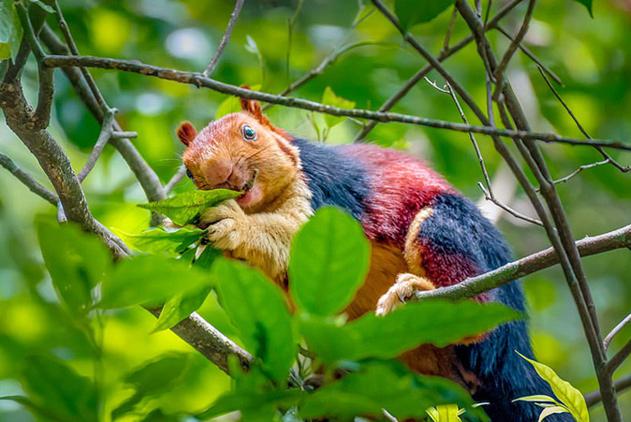 印度现彩色巨型松鼠 体型是正常松鼠的两倍大