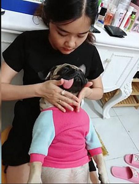 越南一小狗接受头部按摩神情放松舌头垂向一侧