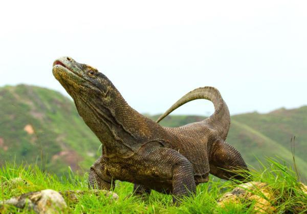 为保护科莫多巨蜥,印尼这个小岛将关闭一年