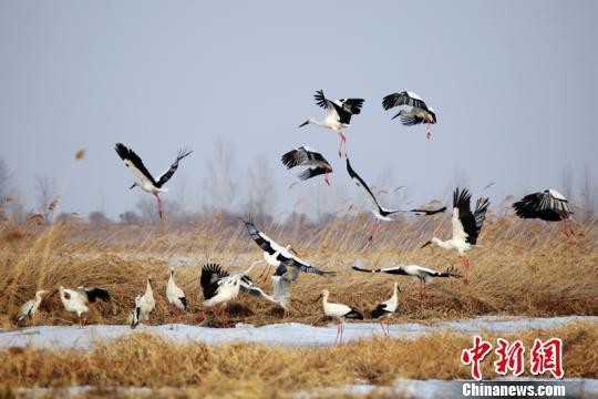 中国最北东方白鹳之乡种群数量超200只