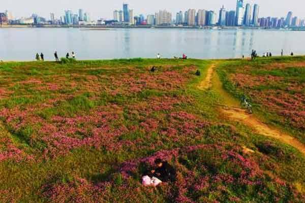 南昌赣江之畔紫云英绽放 游客徜徉紫色花海