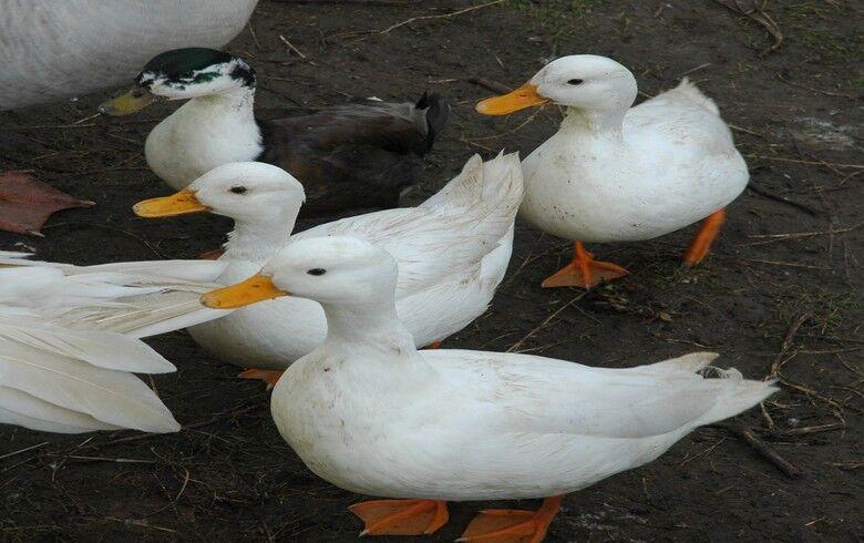 保加利亚出现新一起禽流感疫情