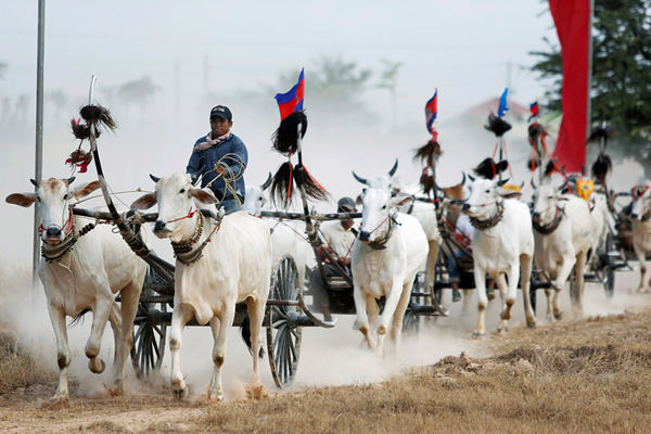 柬埔寨民众举行牛车赛跑 欢庆高棉新年到来